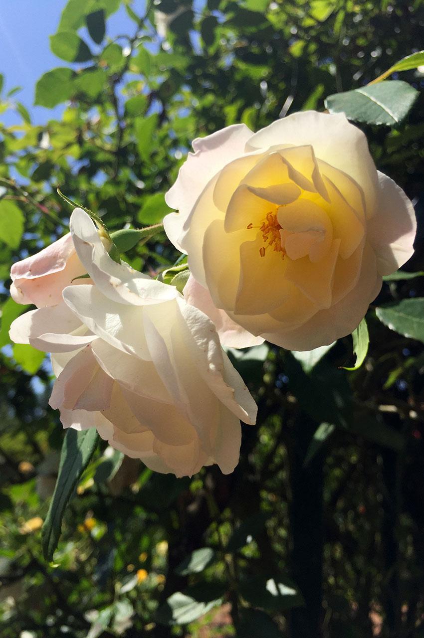 Rose jaune clair