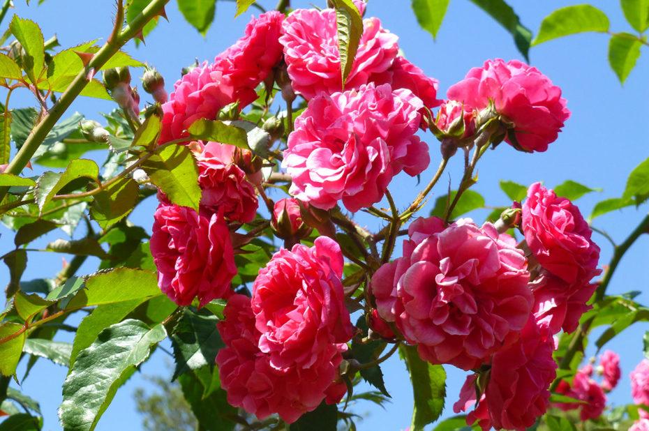 Rosier aux fleurs roses aux jardins de Palheiro