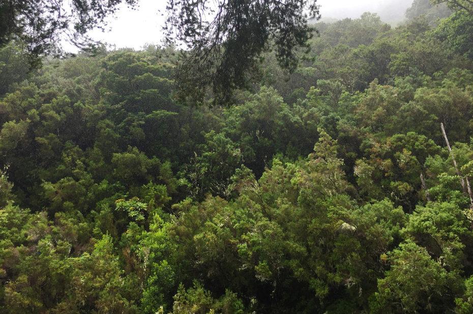 Végétation dense de la forêt Laurissilva