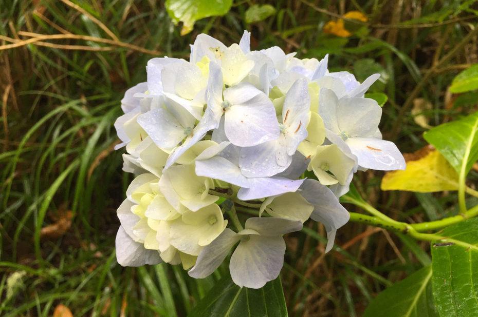 Un hortensia au bord du chemin