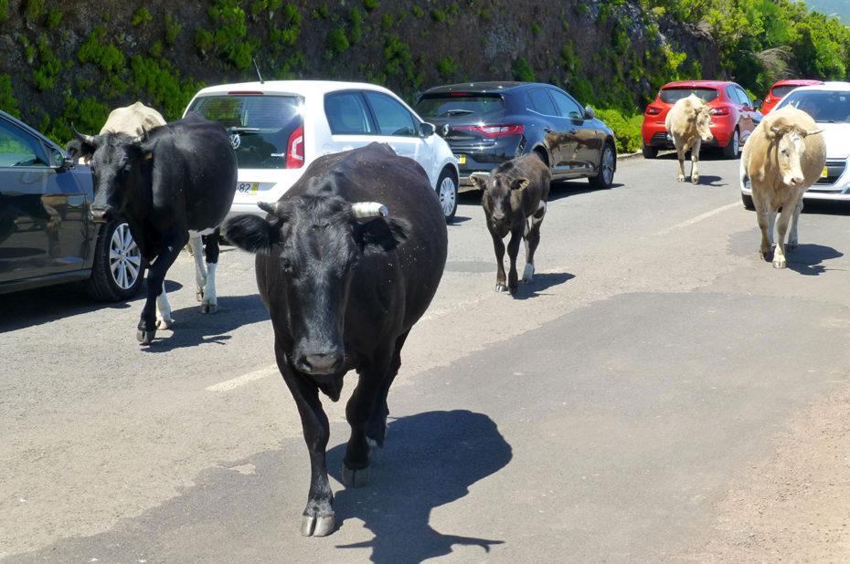 Les vaches marchent librement au milieu de la route