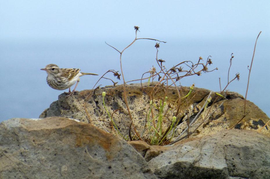 Pipit de Berthelot (oiseau)