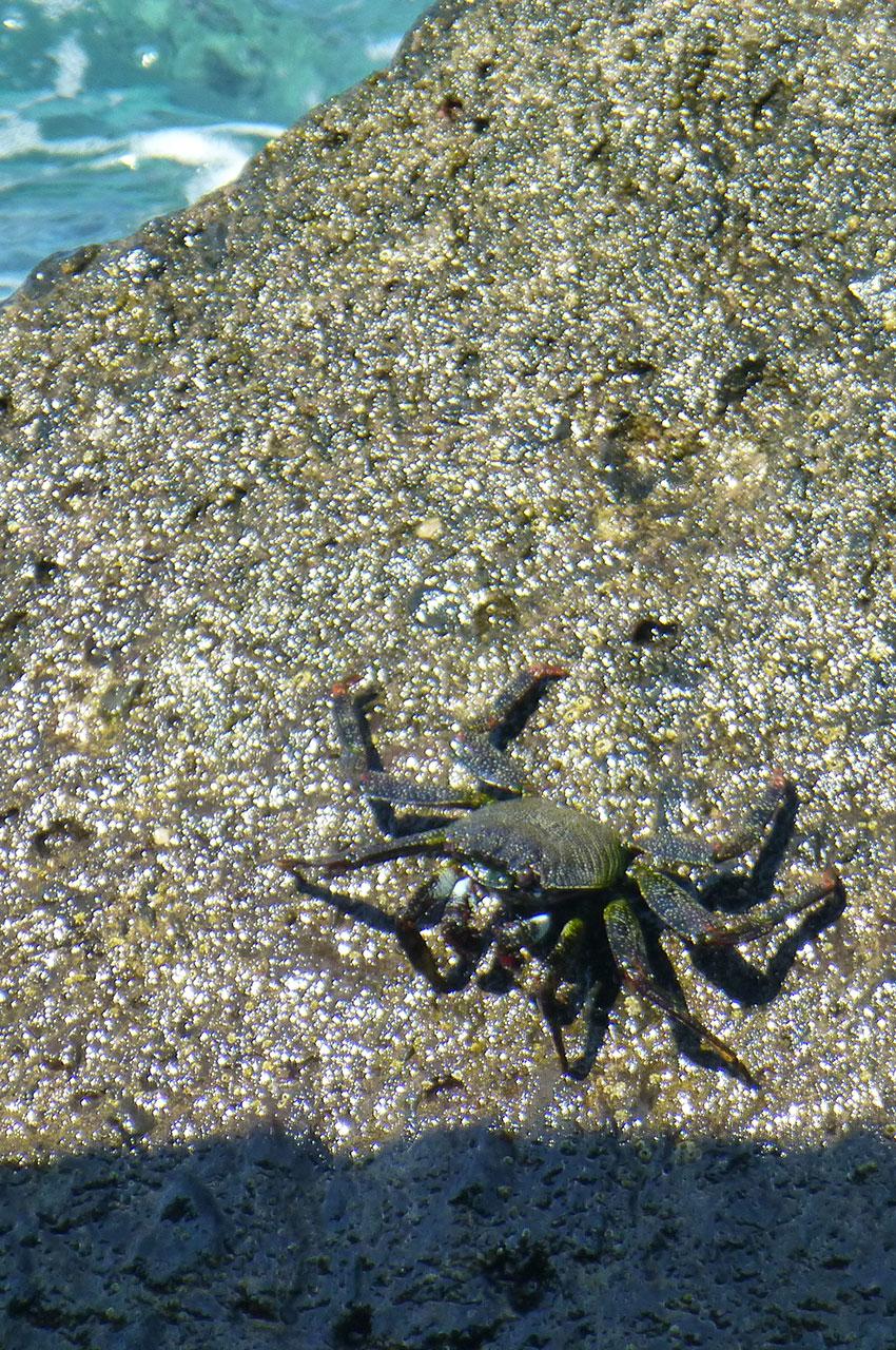 Crabe sur un rocher