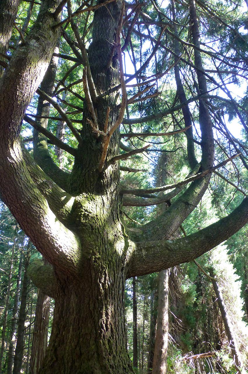 Des arbres majestueux dans la forêt laurifère