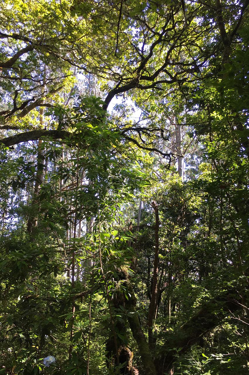Au cœur de la forêt laurifère à Queimadas