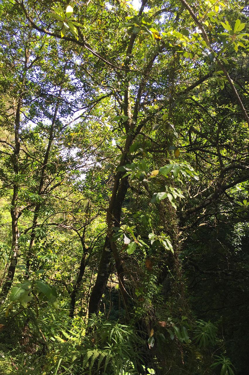 Enchevêtrement d'arbres dans la foret Laurifère