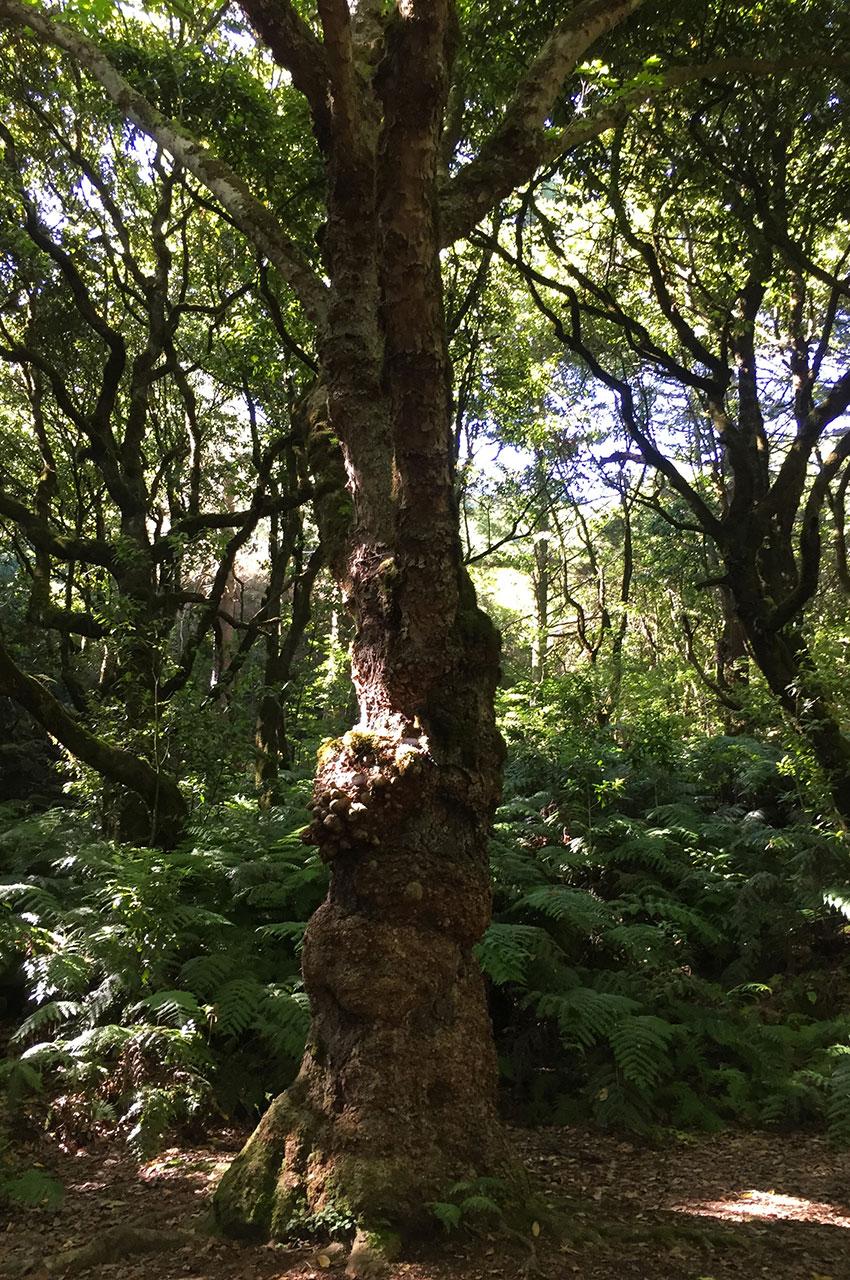 Un laurier, emblème de la forêt de Madère
