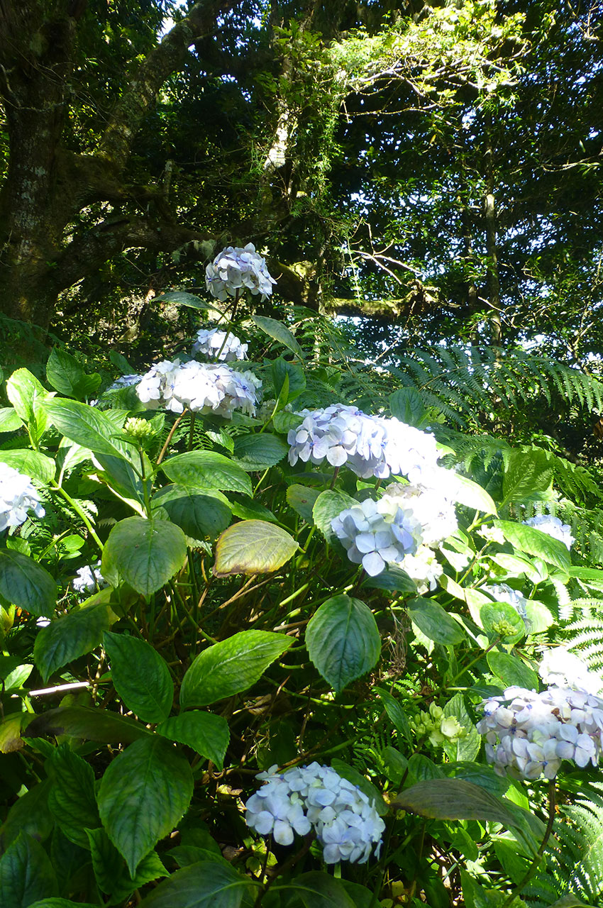De magnifiques hortensias sur le bord du chemin
