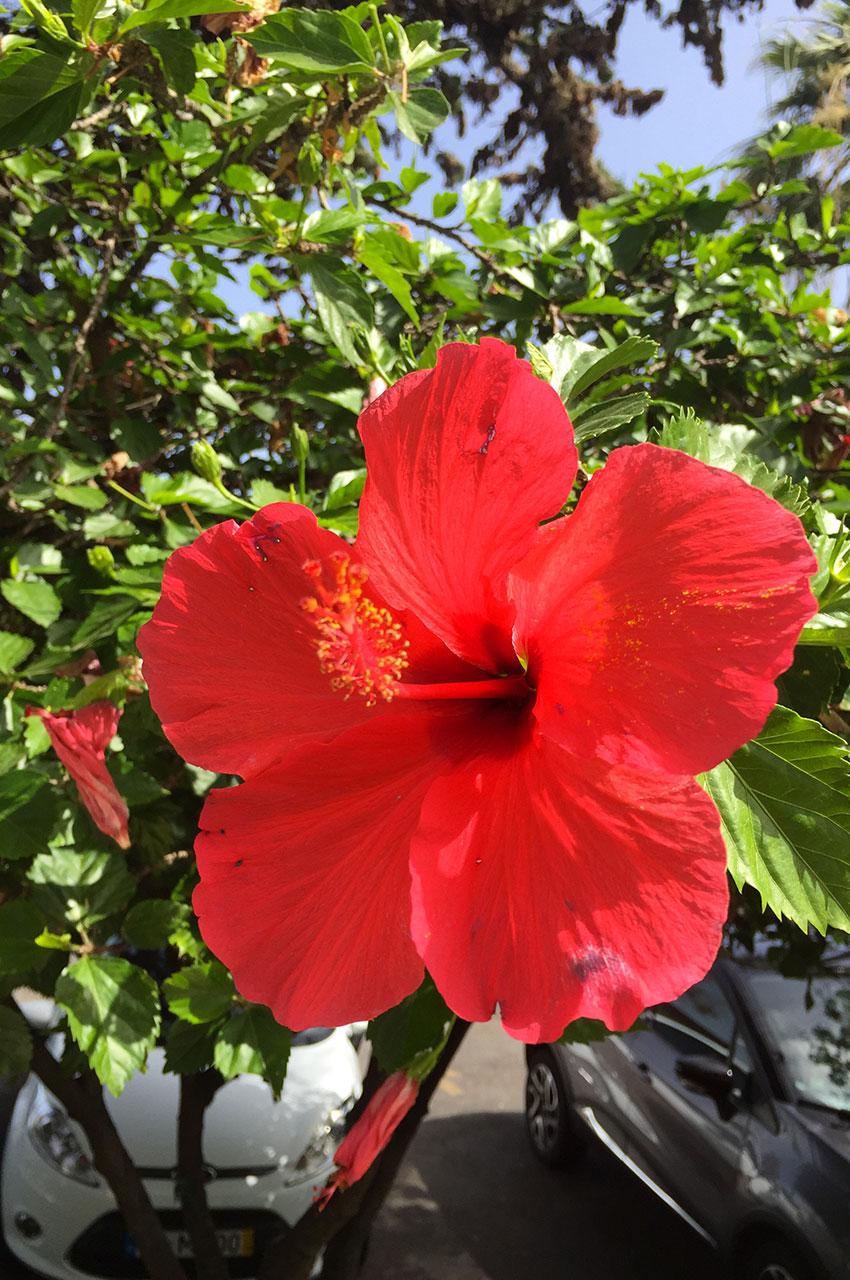 Hibiscus rose de Chine, fleur