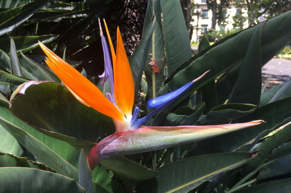 L'oiseau de paradis, l'un des emblèmes de Madère