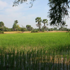 Rizières au Cambodge